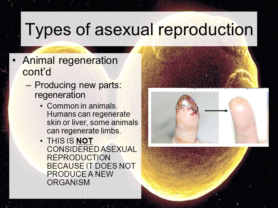 Regeneration form asexual reproduction in humans