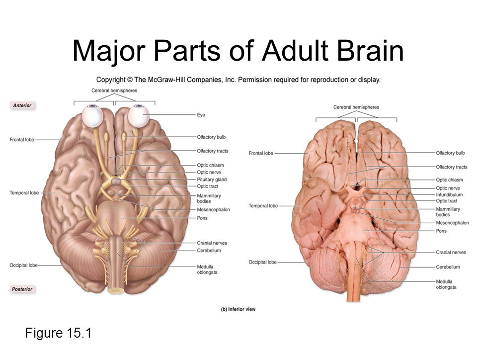 Chapter 15 lecture outline ppt download major parts of adult brain ccuart Image collections