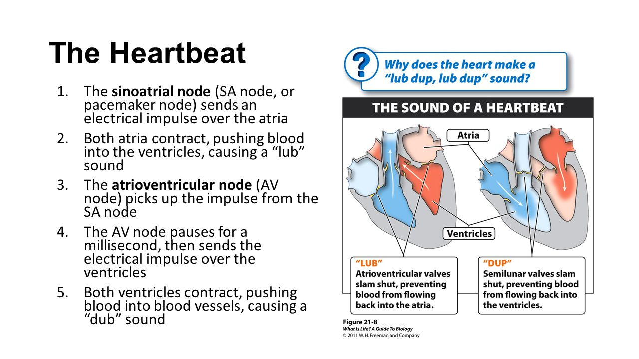 The Heartbeat The sinoatrial node (SA node, or pacemaker node) sends an electrical impulse over the atria.