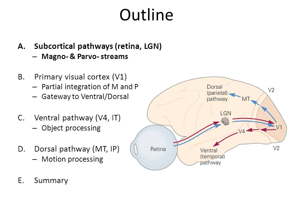 Perceptual systems: Central visual pathways - ppt video online download