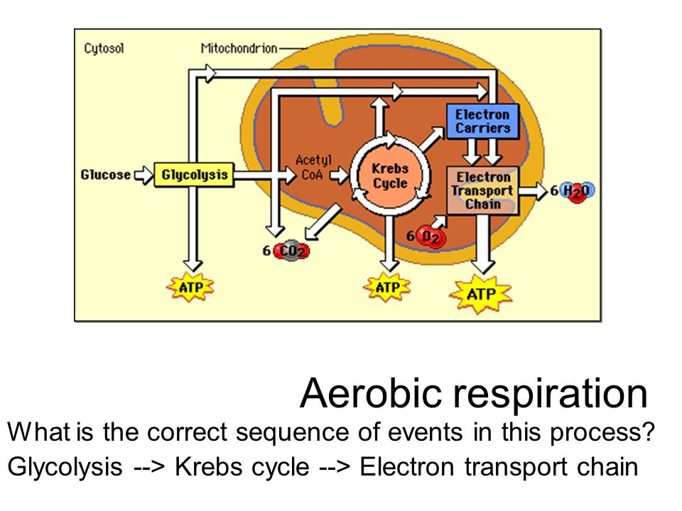 Aerobic respiration What is the correct sequence of events in this process.