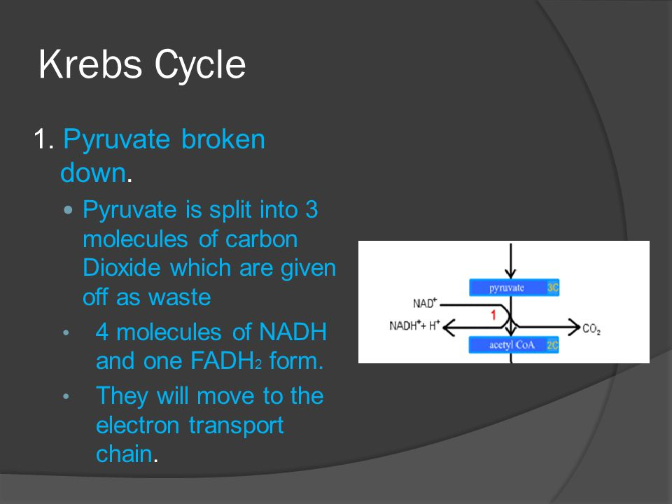 Krebs Cycle 1. Pyruvate broken down.