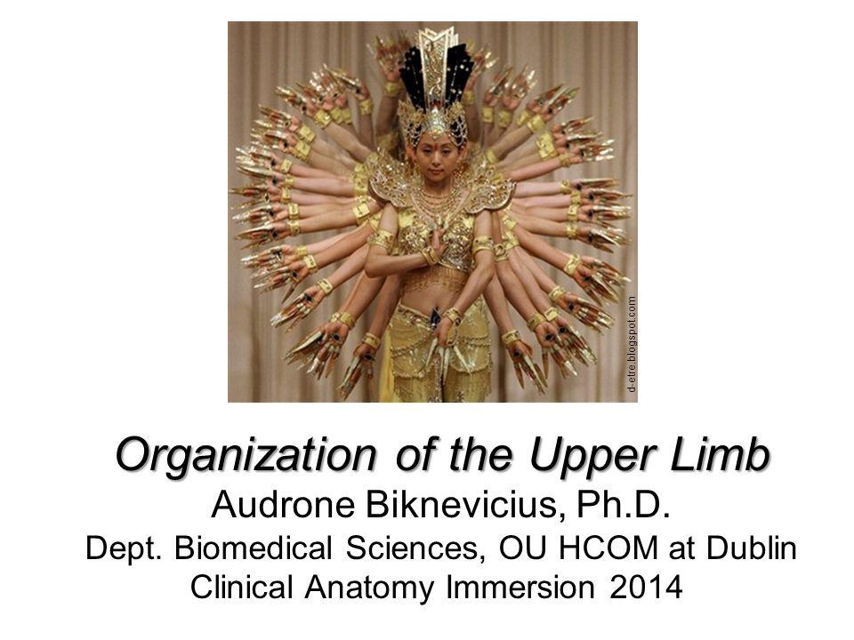 Organization of the Upper Limb - ppt download