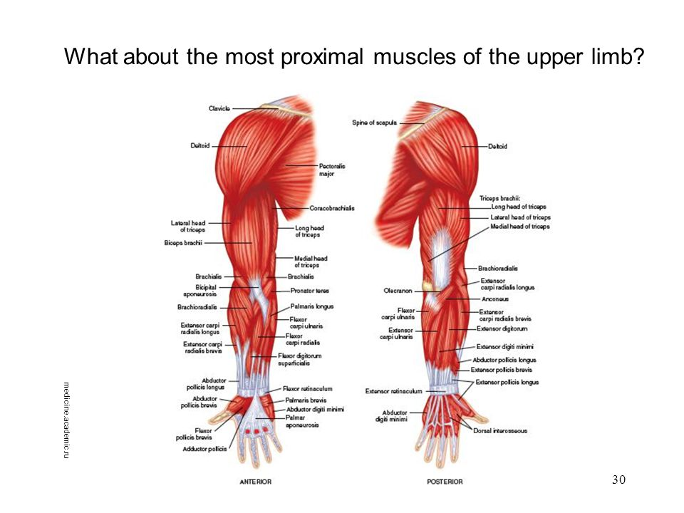 Organization Of The Upper Limb Ppt Download
