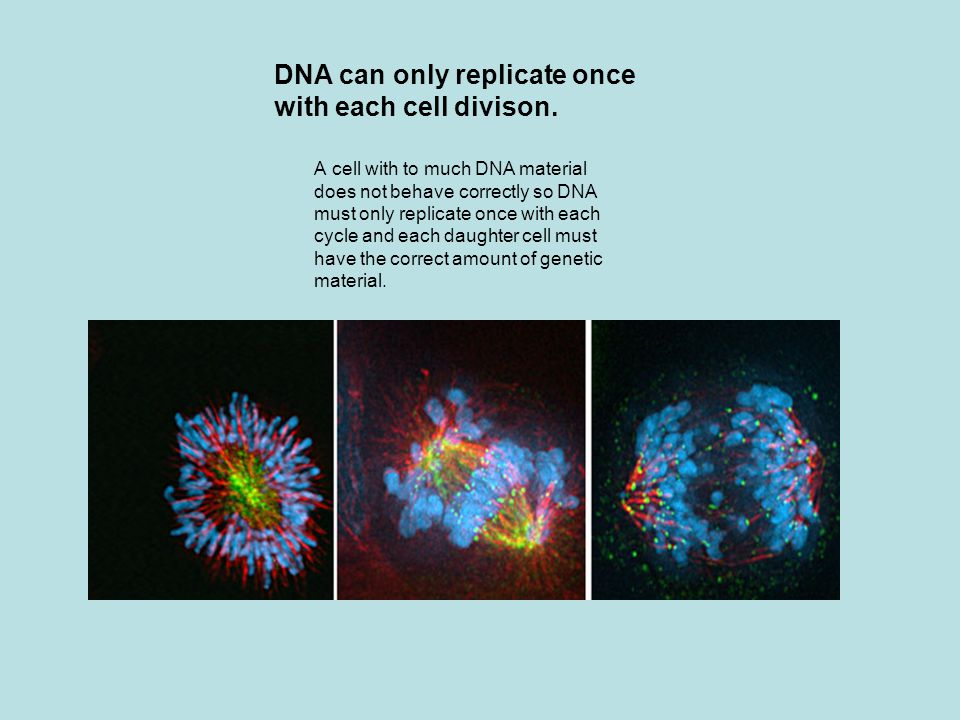 DNA can only replicate once with each cell divison.