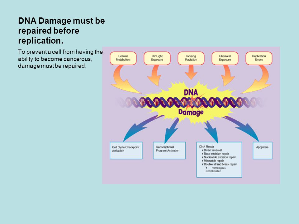 DNA Damage must be repaired before replication.