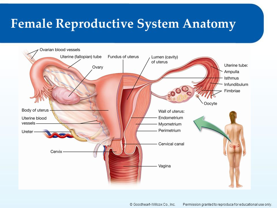 15 The Male And Female Reproductive Systems Ppt Video Online Download
