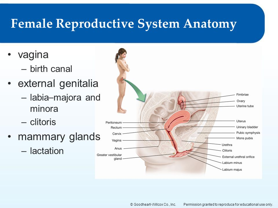 15 The Male and Female Reproductive Systems - ppt video online download
