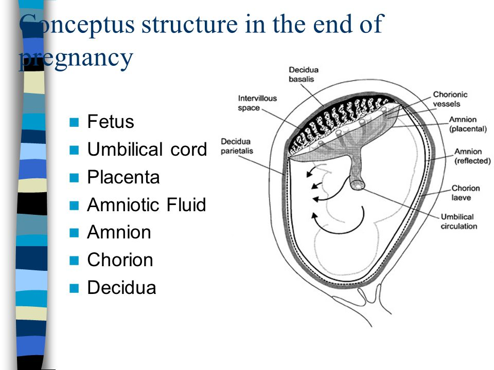 Physiology of pregnancy. The perinatal care of the fetus ...