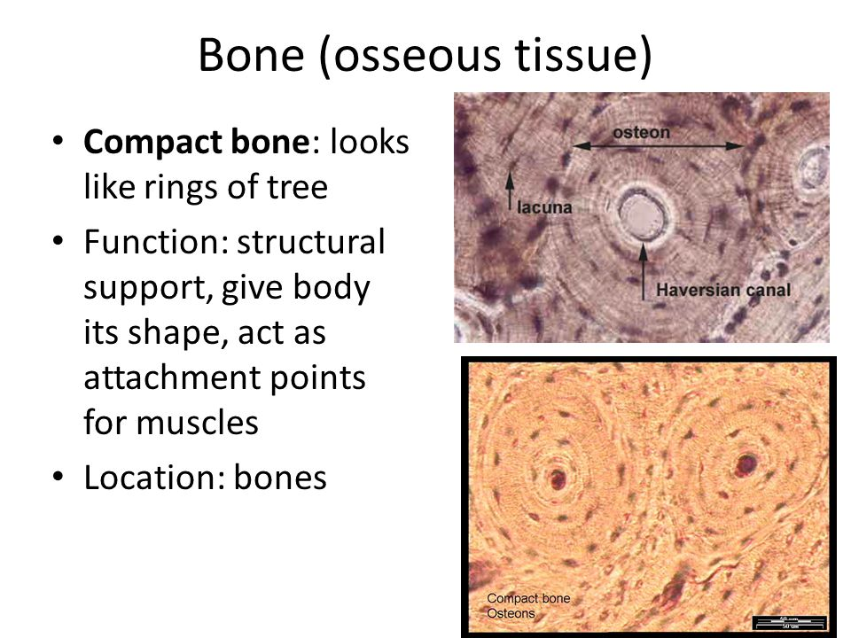 Connective Tissue Found throughout the body; most abundant and ...