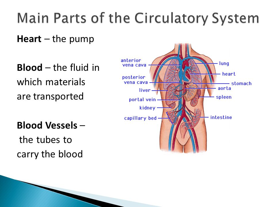 32 Circulatory System Ppt Video Online Download