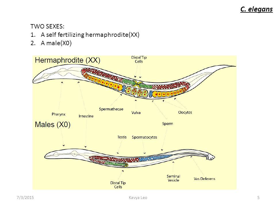 C elegans sex