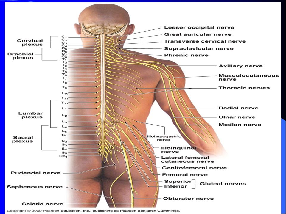 SPINAL CORD & SPINAL NERVES - ppt video online download