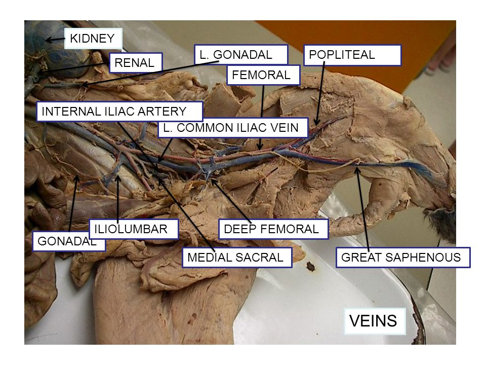 Cat Veins Ppt Video Online Download