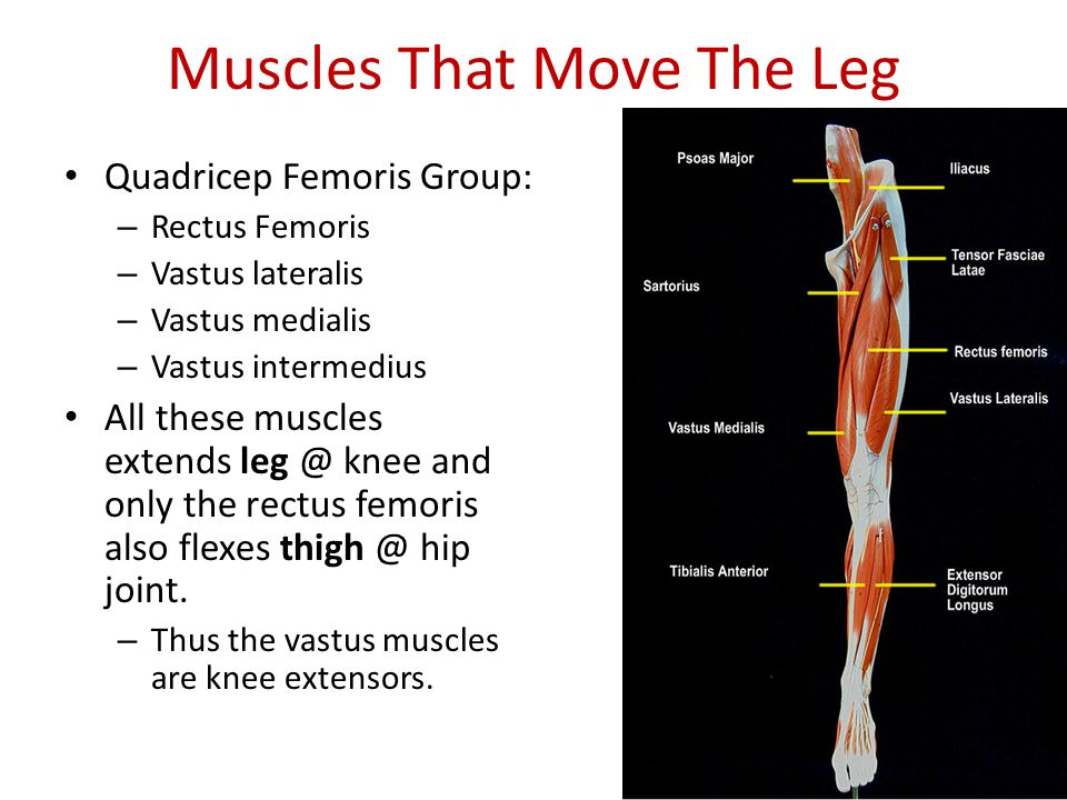 Muscles Of The Arms And Legs Ppt Video Online Download