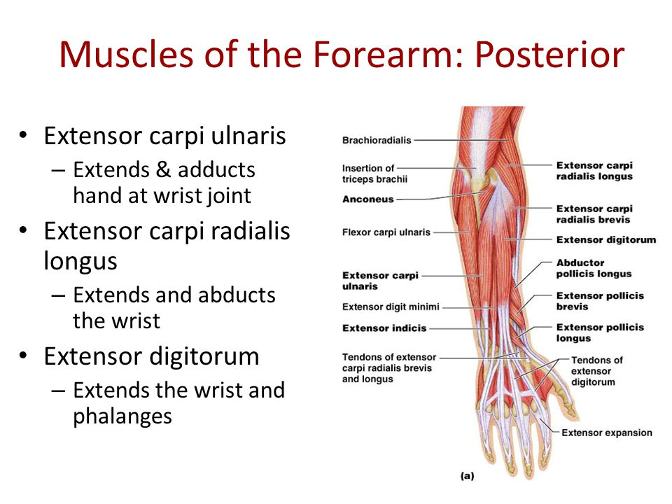 diagram pictures main muscles of the upper extremity