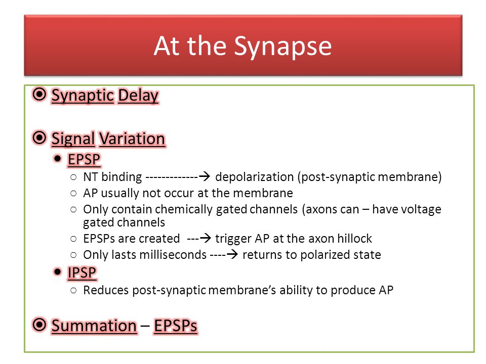 At the Synapse Synaptic Delay Signal Variation Summation – EPSPs EPSP