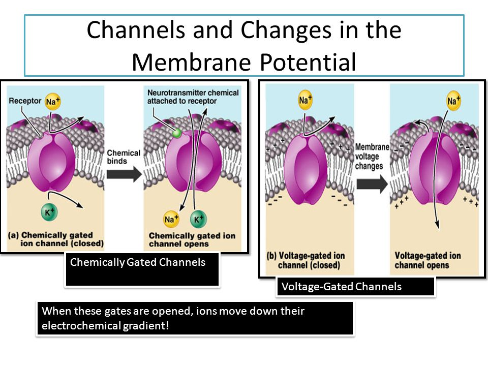 Channels and Changes in the Membrane Potential