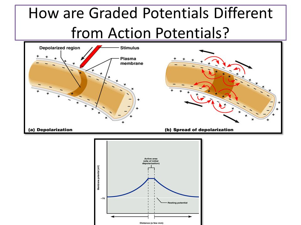 How are Graded Potentials Different from Action Potentials
