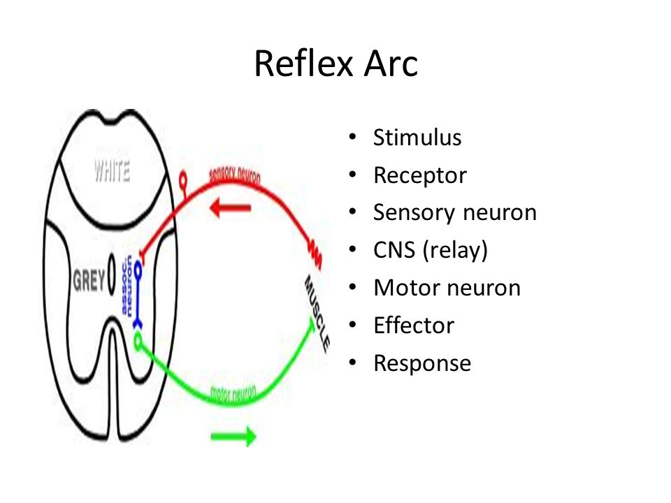 B6 brain and mind ppt video online download 14 reflex arc ccuart Choice Image