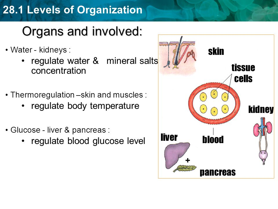 Organs and involved: skin regulate water & mineral salts concentration