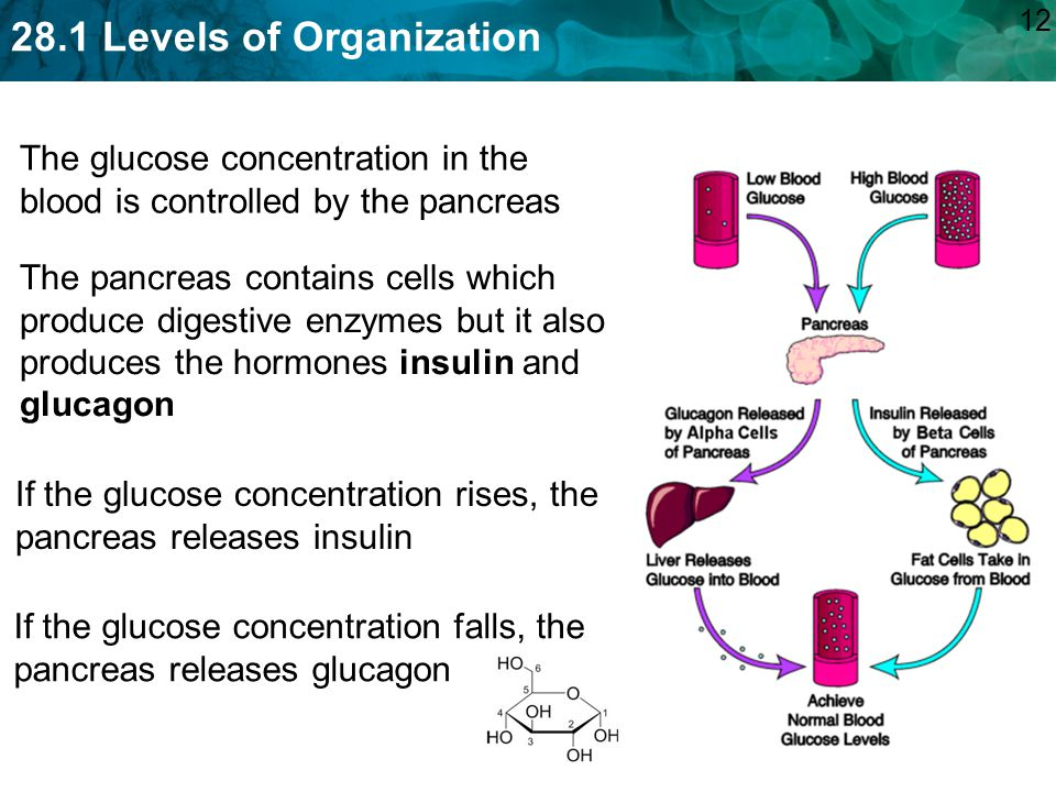 The glucose concentration in the blood is controlled by the pancreas