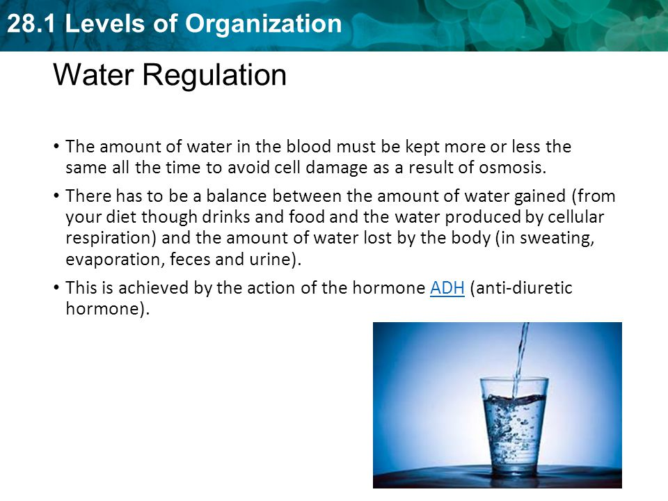 Water Regulation The amount of water in the blood must be kept more or less the same all the time to avoid cell damage as a result of osmosis.