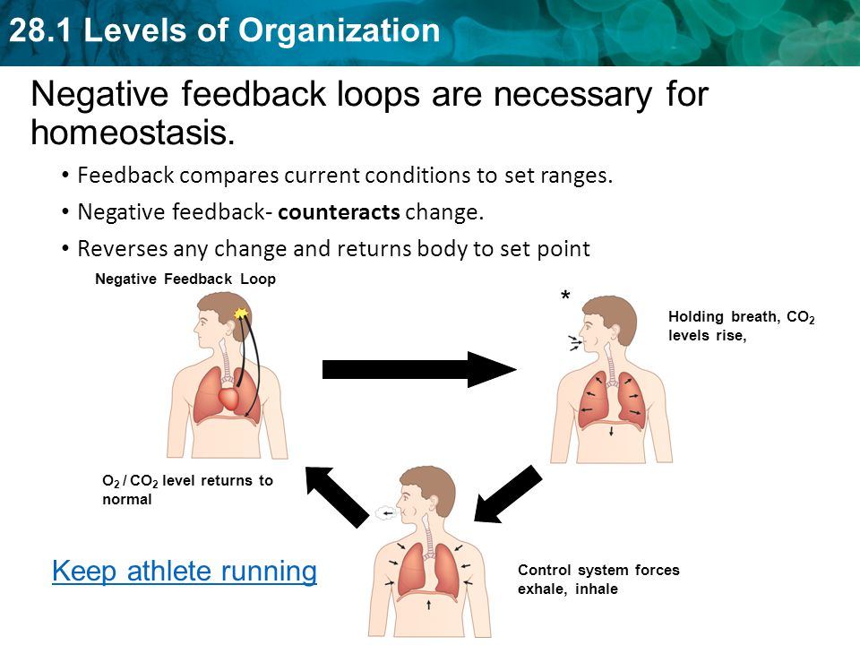 Negative feedback loops are necessary for homeostasis.