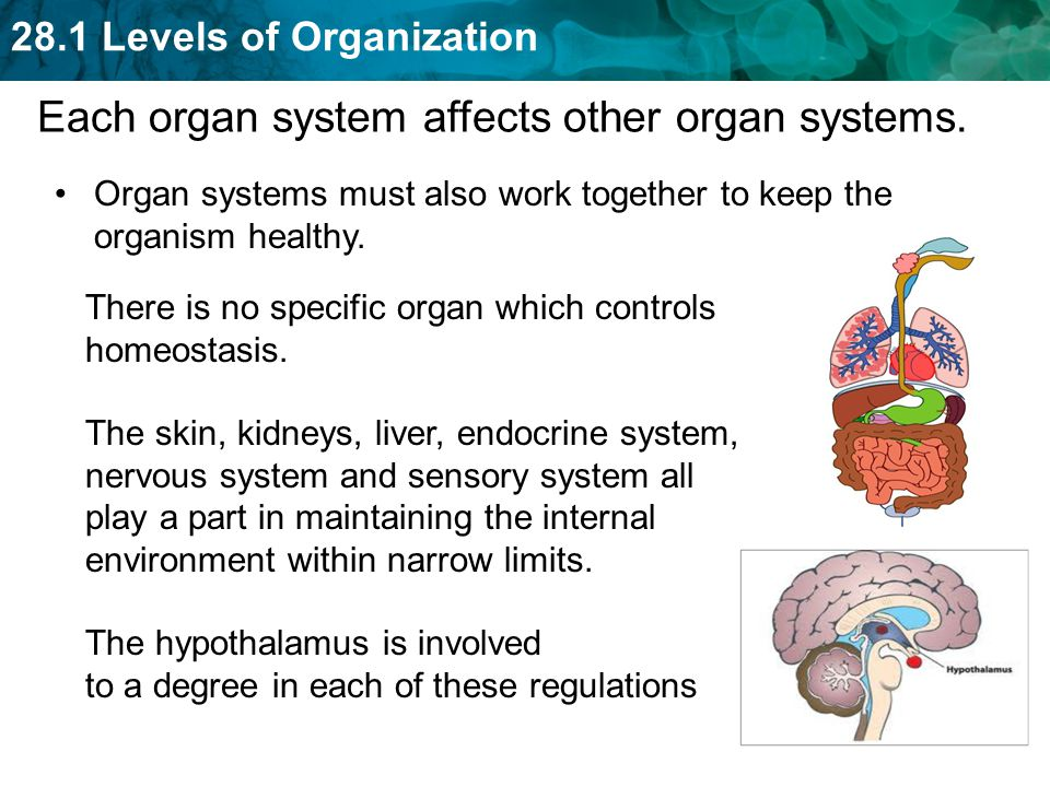 Each organ system affects other organ systems.