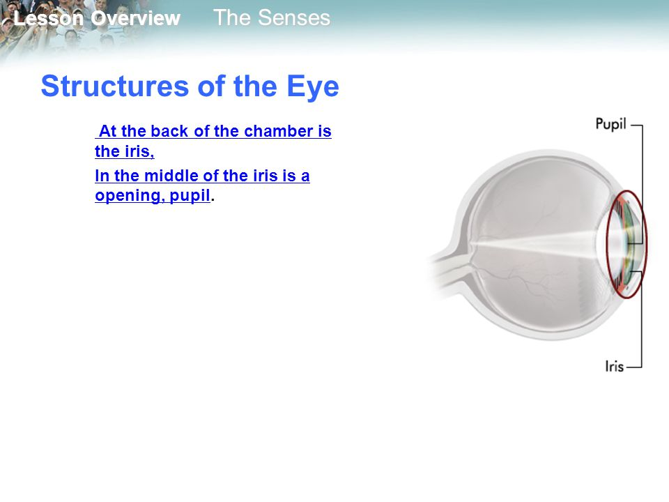 Structures of the Eye At the back of the chamber is the iris,