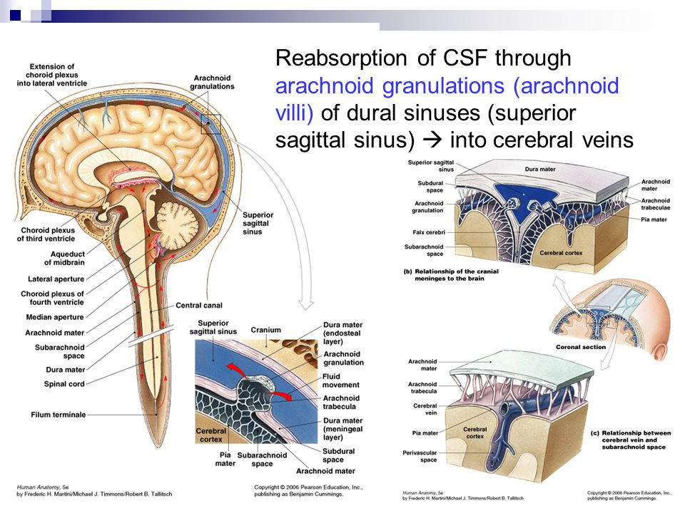 Reabsorption of CSF through arachnoid granulations (arachnoid villi) of dural sinuses (superior sagittal sinus)  into cerebral veins