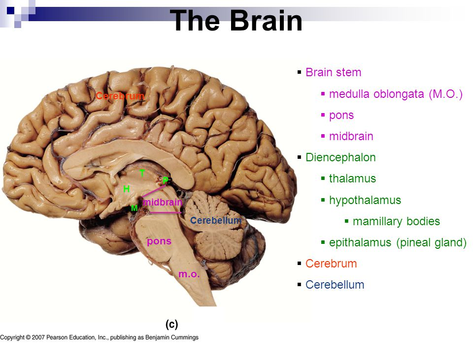 The Brain Brain stem medulla oblongata (M.O.) pons midbrain
