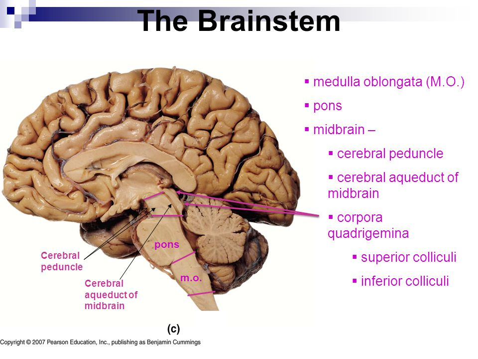 The Nervous System - Lab Exercise 5 - ppt download