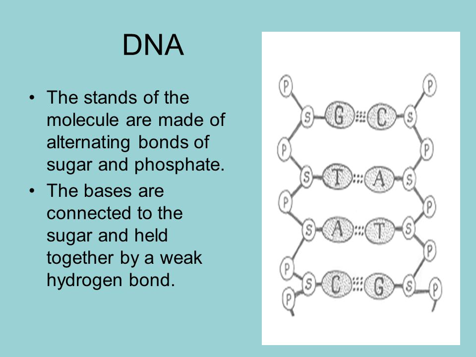 DNA The stands of the molecule are made of alternating bonds of sugar and phosphate.