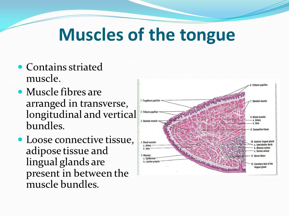 histology of tongue liver amp pancreas ppt video online