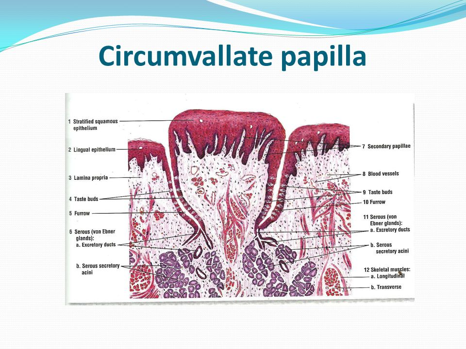 Circumvallate Papillae Diagram Diy Wiring Diagrams