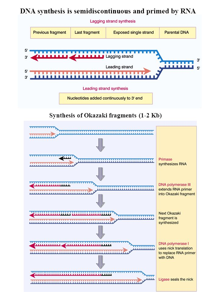 DNA synthesis is semidiscontinuous and primed by RNA