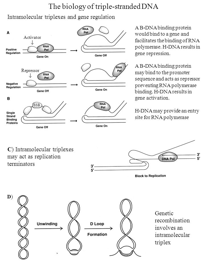 The biology of triple-stranded DNA