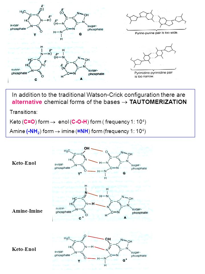 In addition to the traditional Watson-Crick configuration there are alternative chemical forms of the bases  TAUTOMERIZATION