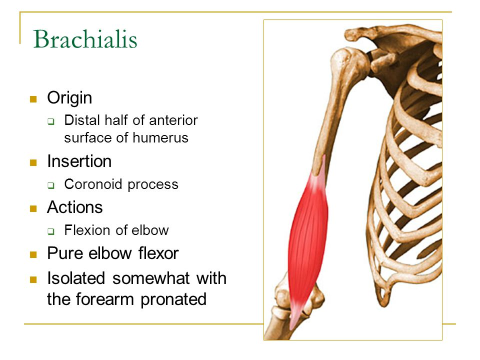 The Elbow Muscles Ppt Video Online Download