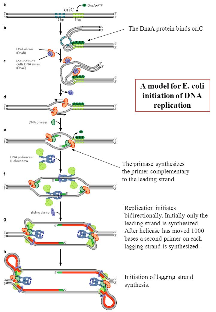 A model for E. coli initiation of DNA replication