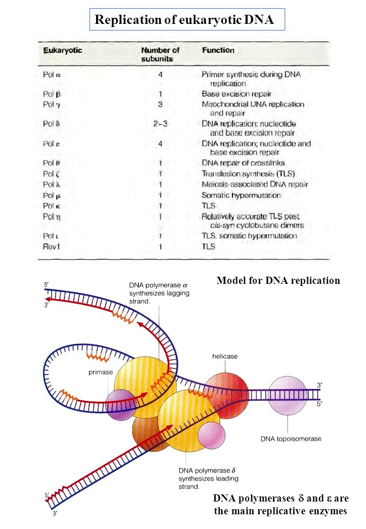 DNA polymerases d and e are the main replicative enzymes