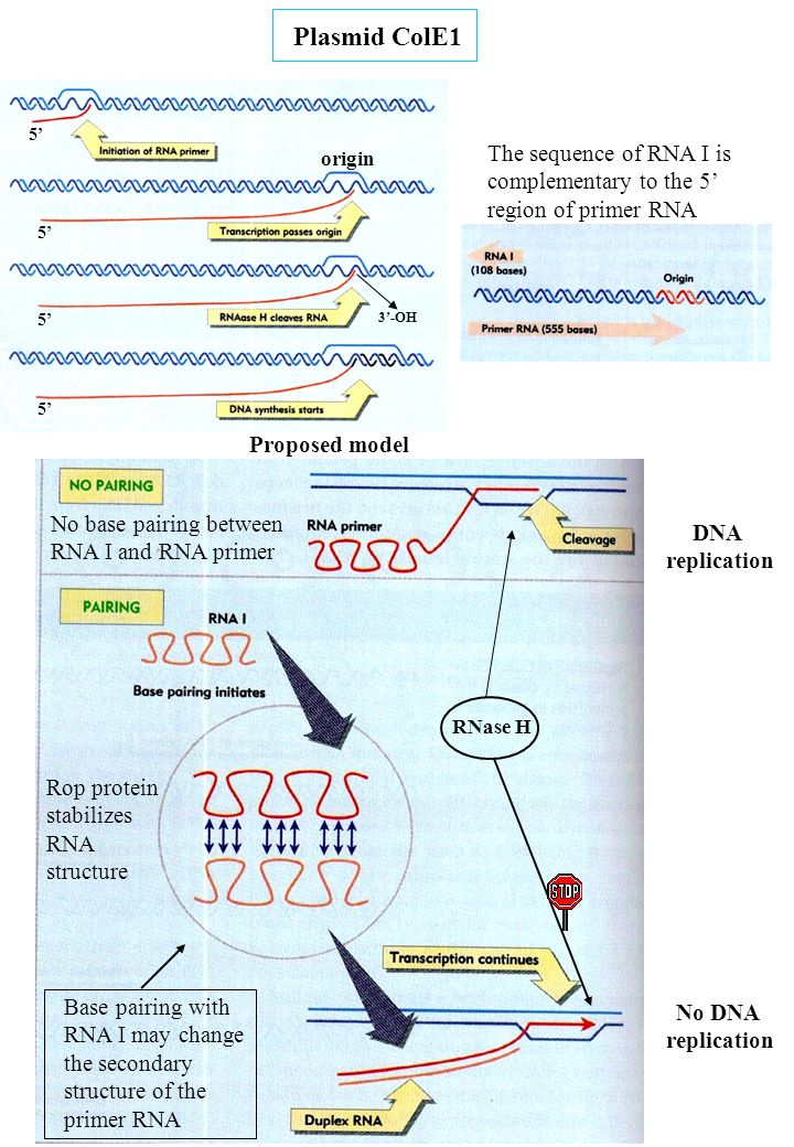 Plasmid ColE1 5' The sequence of RNA I is complementary to the 5' region of primer RNA. origin. 5'