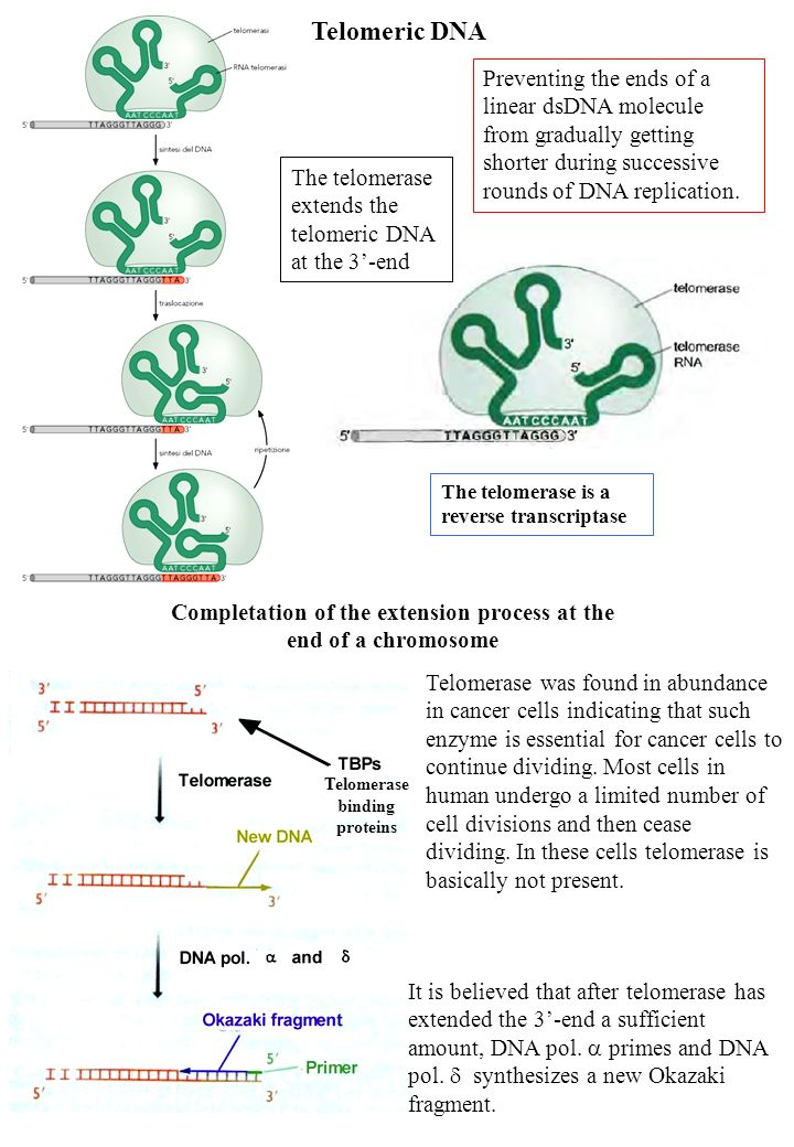 Telomeric DNA Preventing the ends of a linear dsDNA molecule from gradually getting shorter during successive rounds of DNA replication.