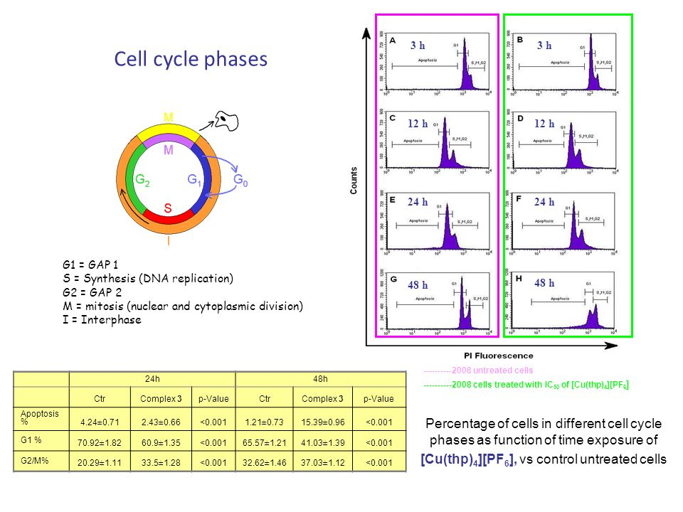 3 h 12 h. 24 h. 48 h. Cell cycle phases. G1 = GAP 1. S = Synthesis (DNA replication) G2 = GAP 2.