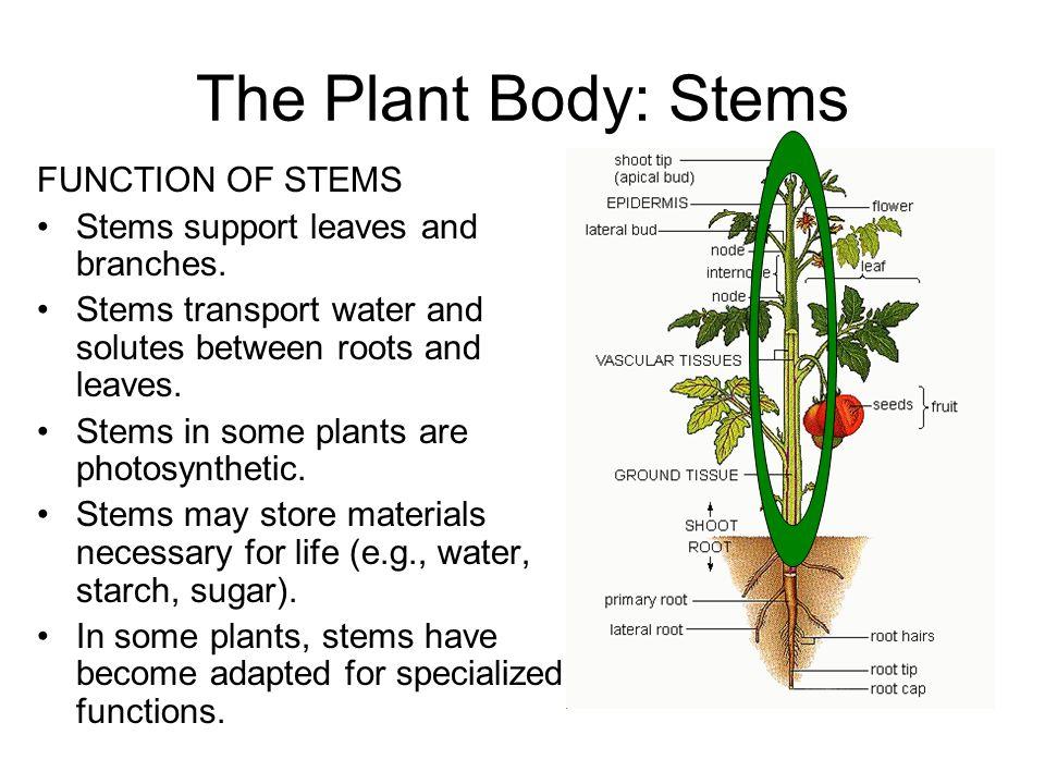 Function External Anatomy Internal Anatomy Specialized Stems Ppt