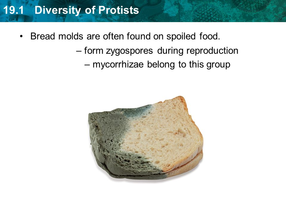 Bread molds are often found on spoiled food.