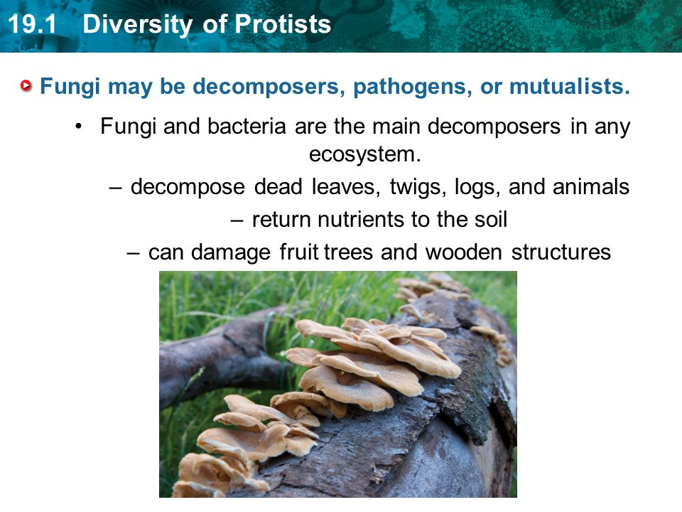 Fungi may be decomposers, pathogens, or mutualists.