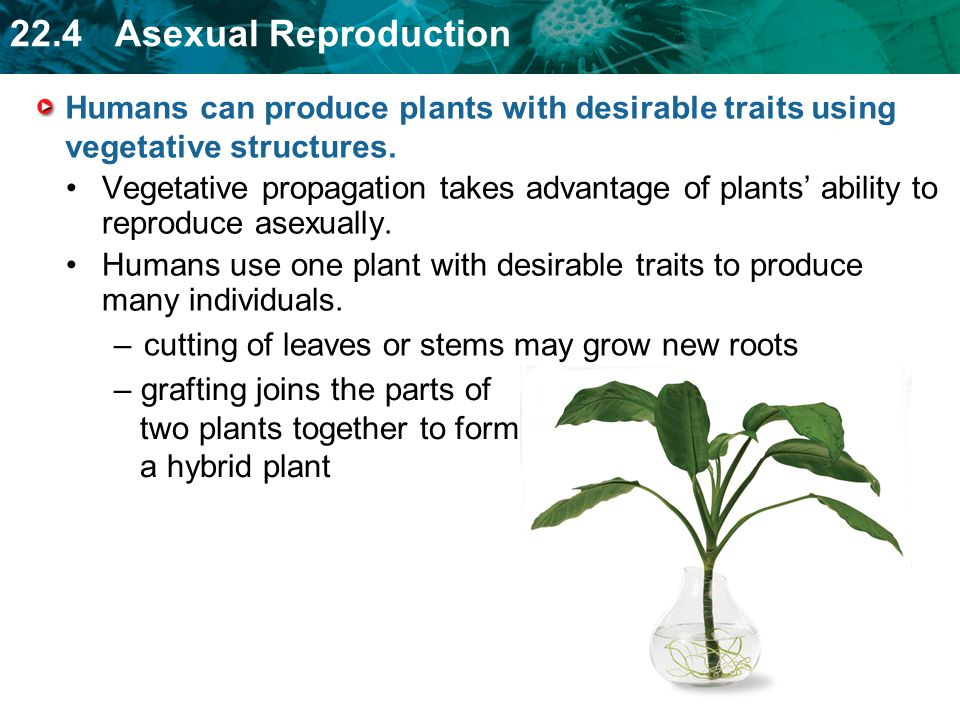 Examples of plants that can reproduce asexually