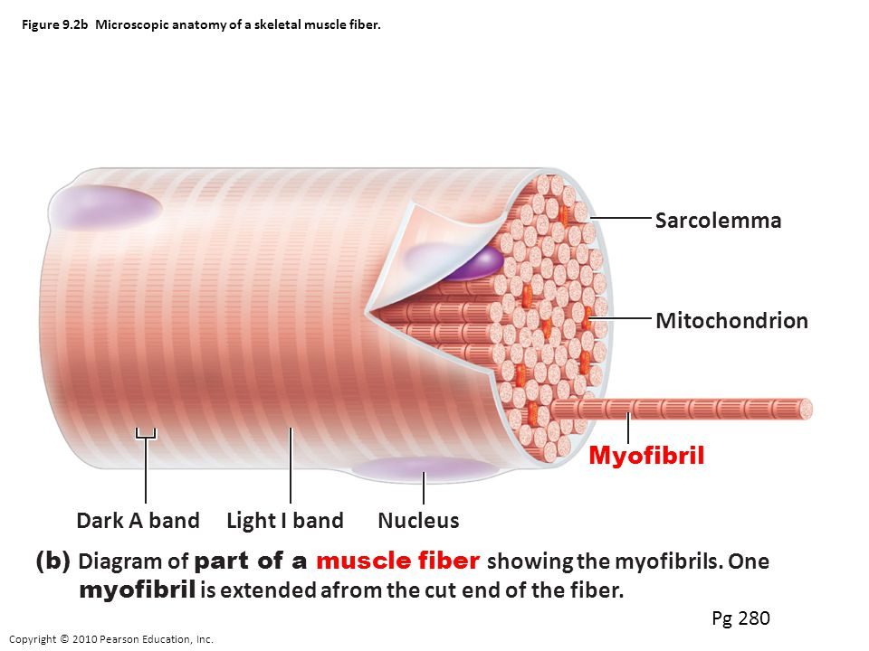 Fantastic Microscopic Anatomy Of Skeletal Muscle Elaboration ...
